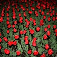Море тюльпанов :: Damir Si