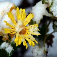Цветы под снегом :: Ольга Голубева
