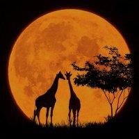 Жирафы (из серии ночные силуэты)... :: олег