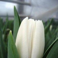 Беленький тюльпан :: laana laadas