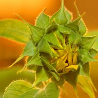 Sunflower :: Алексей Петров