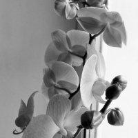 Orchidee :: Yulia Sherstyuk
