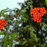 Рябиновые гроздья. :: zoja