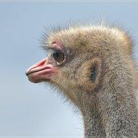 Грустный страус... :: Андрей Медведев