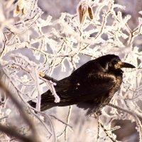 Ворона на дереве :: Сергей Гибков