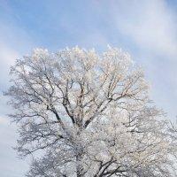Искрился в солнечный лучах Наряд деревьев зимний.... :: Анатолий Клепешнёв