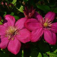 Красные цветы клематиса :: Светлана Лысенко