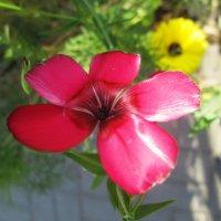 Аленький цветочек :: Самохвалова Зинаида