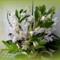 Орхидея дендробиум нобиле :: Вера