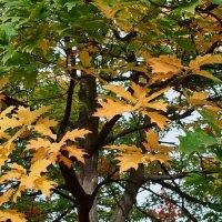 Осень. Дуб. :: Андрий Майковский