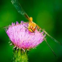 Dragonfly :: Денис Казаков