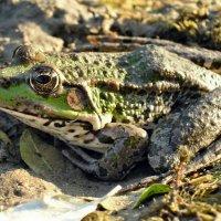 Царевна-лягушка на пенсии :: Александр Резуненко