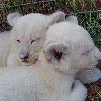 Белые львята. :: Ирина Нафаня