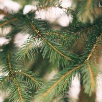 И запах елки той, что ароматней нет... :: Анна Бовсуновская