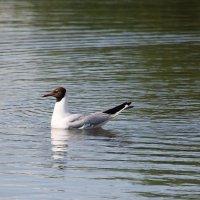 Озерная  чайка... :: Валерия  Полещикова