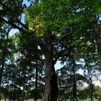 Старое дерево :: Наталия Короткова