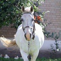 horse :: Екатерина Abolmasova