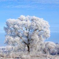 Одиноко стоящее дерево... :: Анатолий Клепешнёв