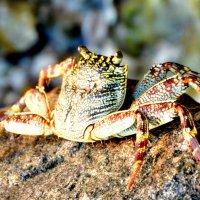 Crab3 :: Olga Chertanovskaya