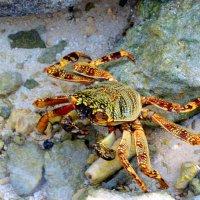 Crab 4 :: Olga Chertanovskaya