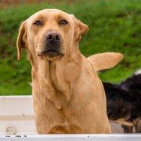 Перевозка собак на грузовике :: Ирина Краснобрижая