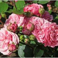 За красоту мы любим розы, их дивный запах, аромат...!! :: Ирина