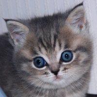 Голубоглазка ... :: Damir Si