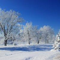 Снежные деревья :: Олег Петрушин
