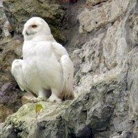 Полярная сова. :: Елена