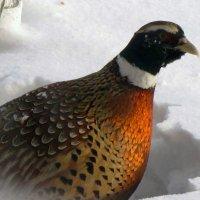 дикий птЫц - фазан :: doberman