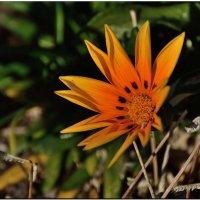 Декабрьский цветок :: Leonid Korenfeld