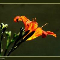 Солнышко в лилии :: Ольга Голубева