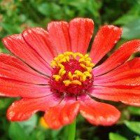 Лаковый цветочек :: Лидия (naum.lidiya)
