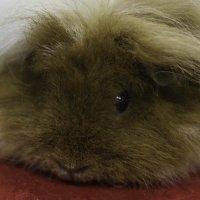 Морская свинка альпака :: Александр Аксёнов