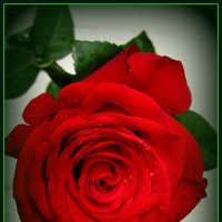 Роза :: Сергей Карачин