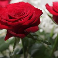 Розы. Букет. :: Larisa