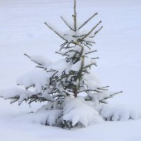 Маленькой ёлочке не холодно зимой ! :: Мила Бовкун