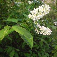 Цветы церападуса :: Сергей Гвоздев