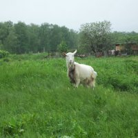 Эта белая коза сама не понимает, ято стала символом :: Владимир Ростовский