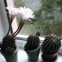 Цветки кактуса распустились :: Сергей Гвоздев