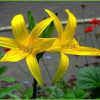 Желтая лилия :: Вера
