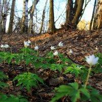 Трепетная весна :: Татьяна Ломтева
