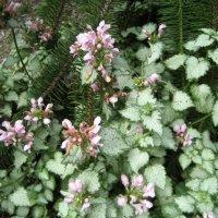 """Lamium maculatum  """" Pink Pewler """"  / Яснотка :: laana laadas"""