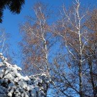 Зима,берёзы и сосны в снегу... :: Тамара (st.tamara)