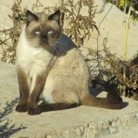 голубоглазый кот :: tgtyjdrf