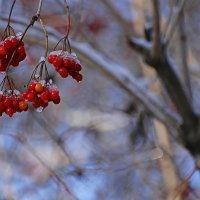 Калина ягода ... :: - AVD -