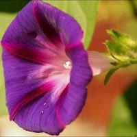 Фиолетовый граммофон :: Swetlana V