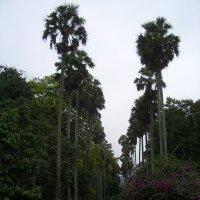 Корабельные пальмы :: grovs