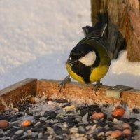и на снегу растут орехи!) :: linnud