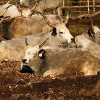 Венгерская степная корова :: Viktor Makarov